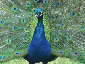 Peacock - wanting to be the most beautiful